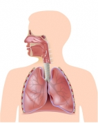 The_respiratory_system_eps10_xs.jpg